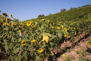 Sonnenblumen im Weinberg