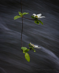 Dogwood Blooms by the Merced River