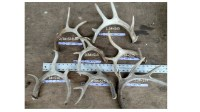 shed antlers premium