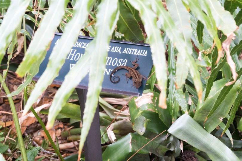 selby-botanical-gardens-lizard