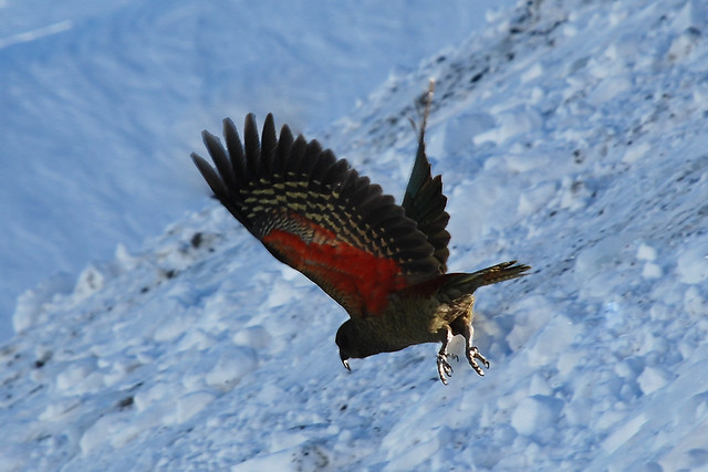 Kea - Mount Hutt Carpark