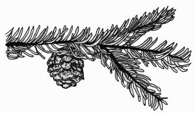 Pine Branch With Pinecone This Is The Original Drawing