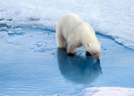 Image result for global warming polar bears