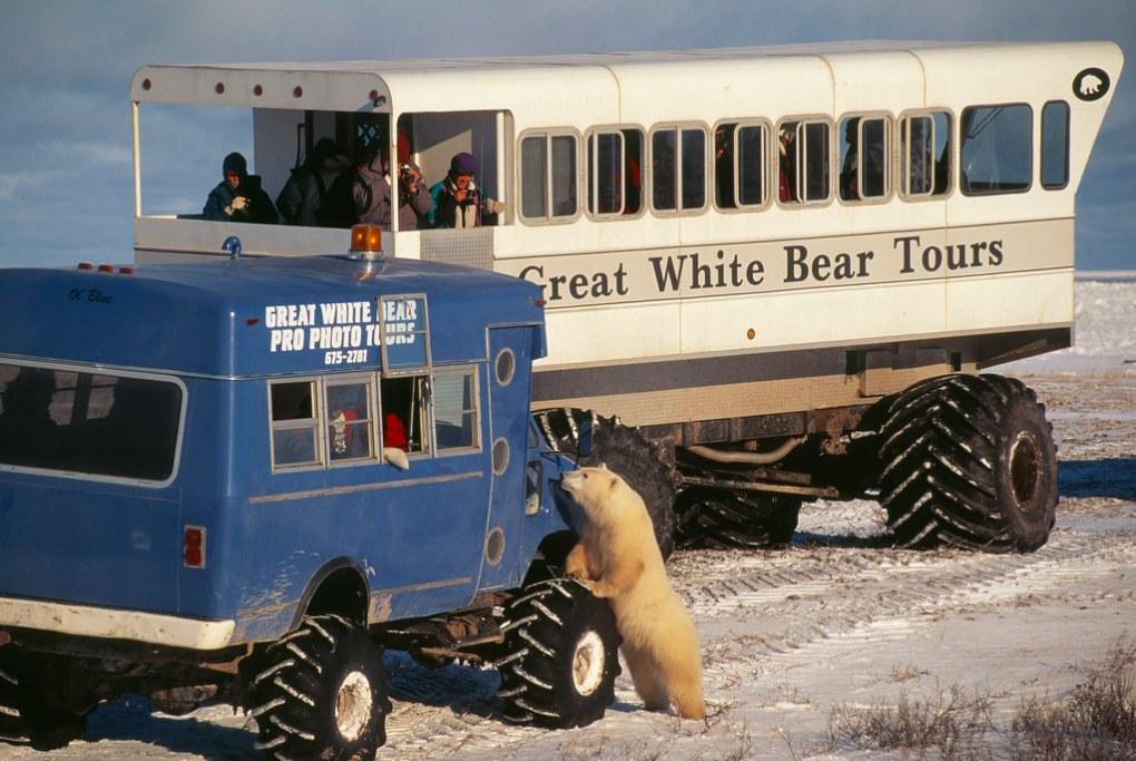 Polar Bear and ecotourism, Canada
