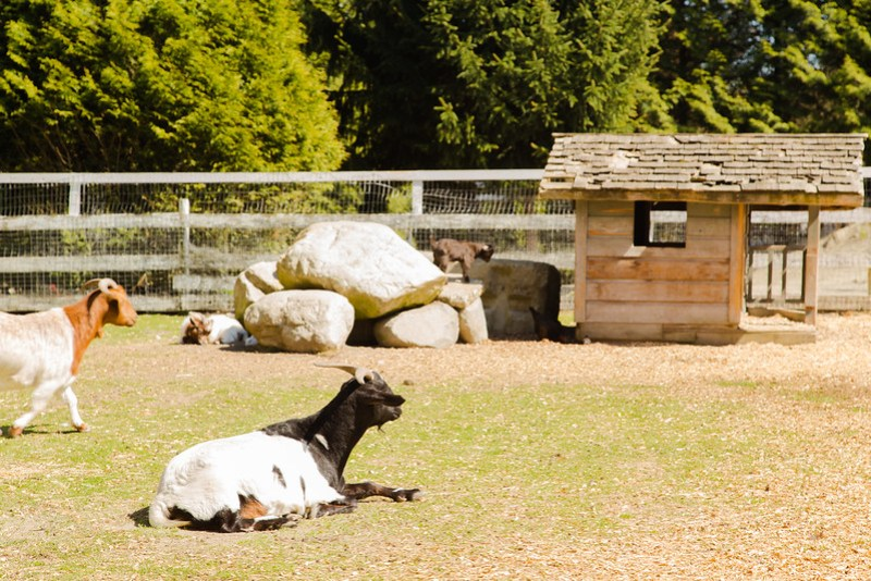 Goats at the farm