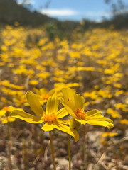 Death Valley Wildflowers... Coreopsis?