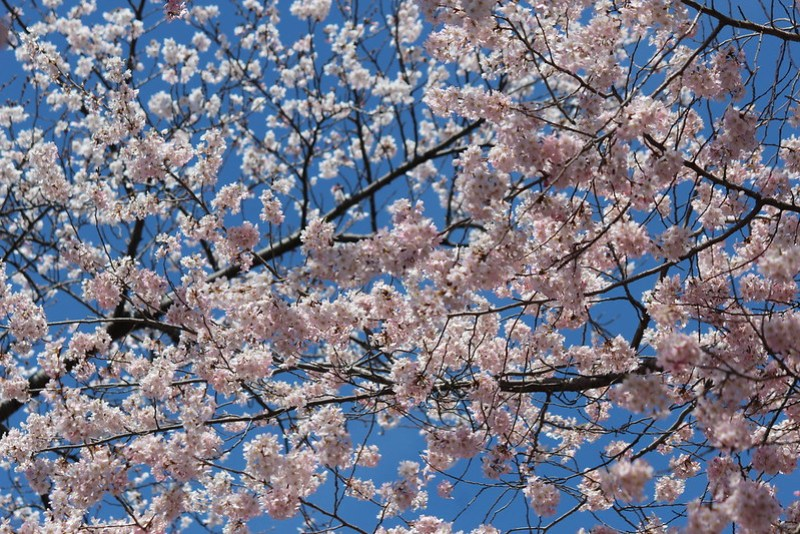 Central Park Cherry Blossom