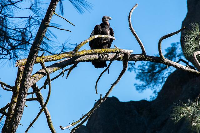 California Condor No. 800 at Pinnacles National Park
