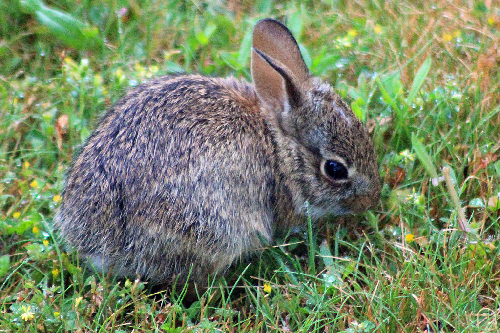How Get Rid Rabbits My Yard