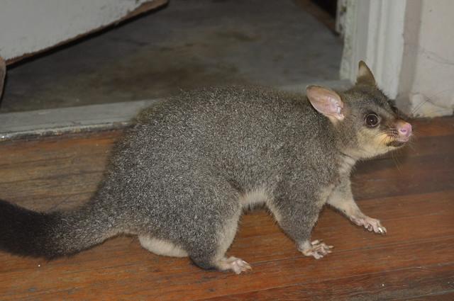 Possum on hands and feet