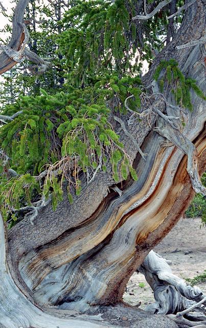 E35 Cedar Breaks bristle cone pine, 2001