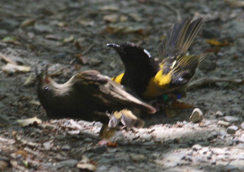 Hihi Stitchbird Mating At ZEALANDIA Photo By Tom Lynch