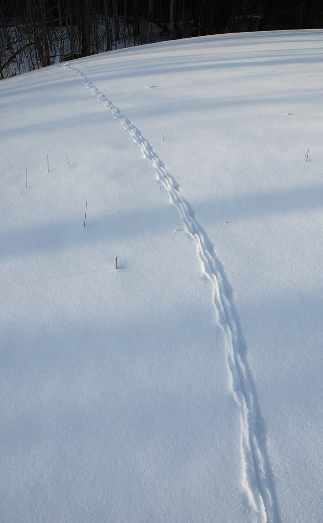 Muskrat Tracks In The Snow Yesterday It Appears That A