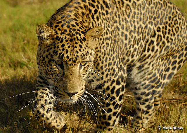 Leopard Luiperd A Leopard Panthera Pardus Inviting