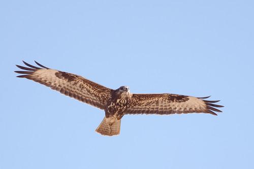 Águia-d'asa-redonda, juvenil / Common Buzzard, juvenile (Buteo buteo)