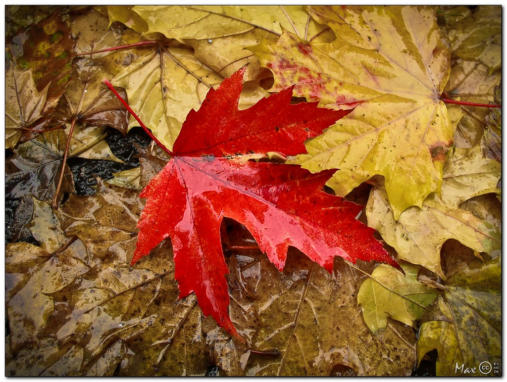 Red Leaf On Yellow Fall