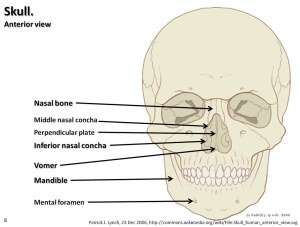 Skull diagram, anterior view with labels part 3  Axial Sk