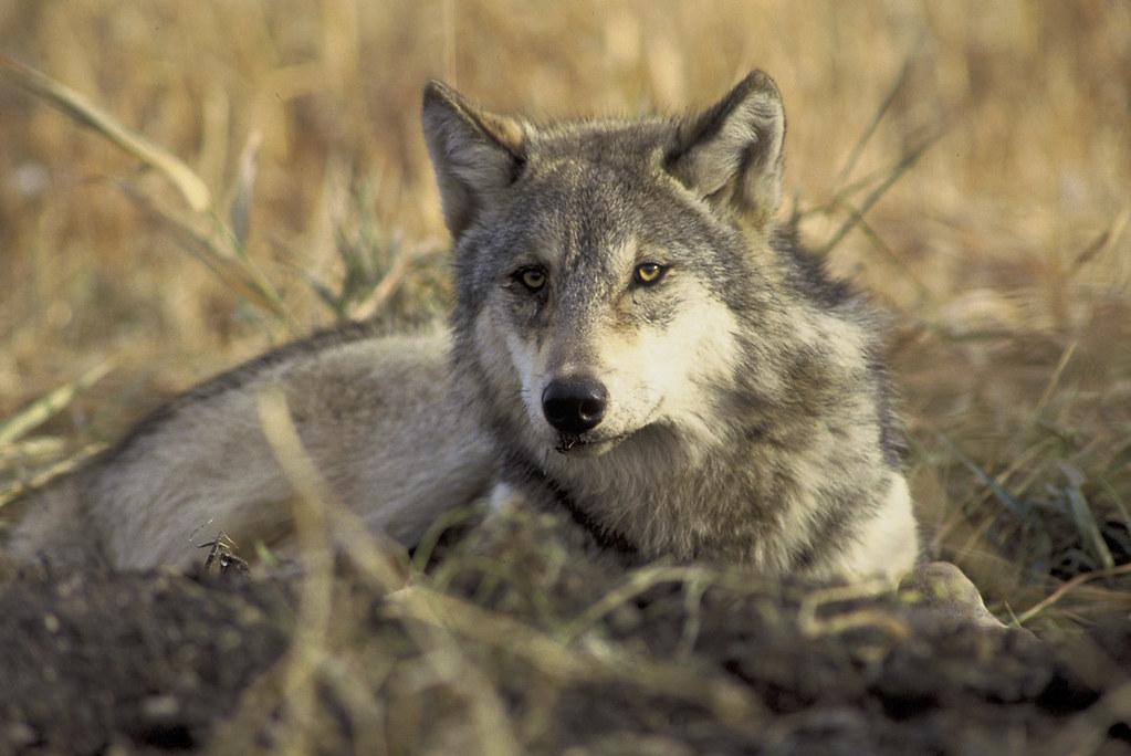 Keystone Species Tundra