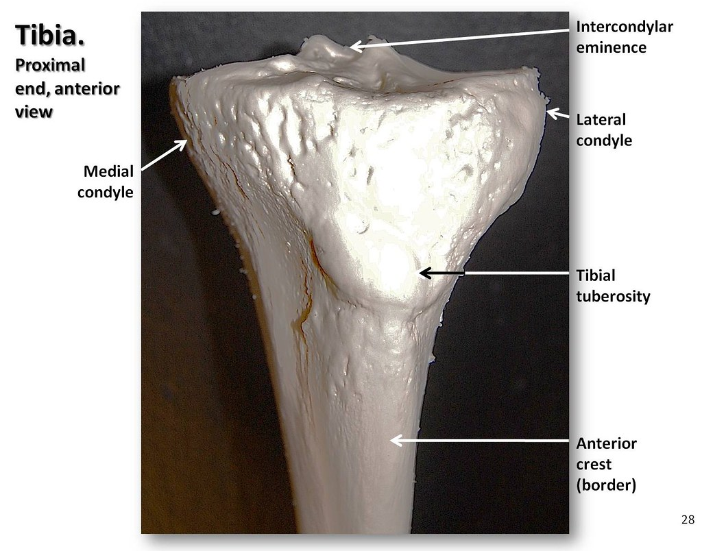 Tibia Close Up View Of Anterior Proximal End With Labels