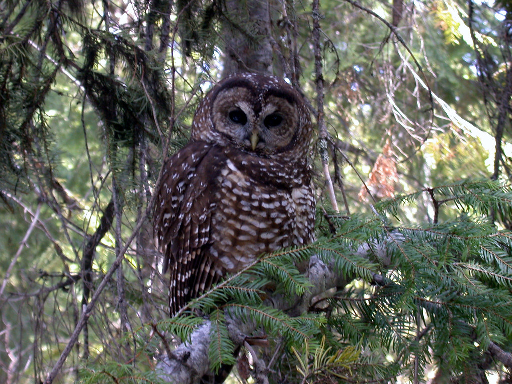 Threatened Northern Spotted Owl Strix Occidentalis Caurin