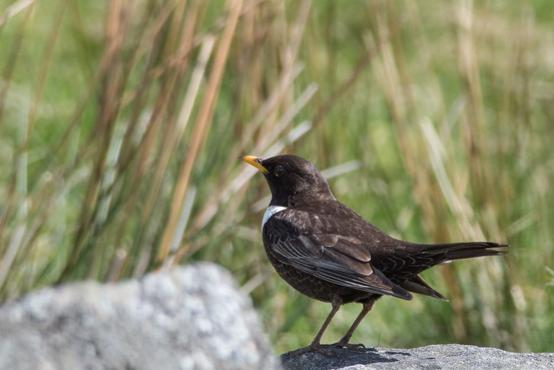 Ring Ouzel on a bolder about to be disturbed by a group of hikers