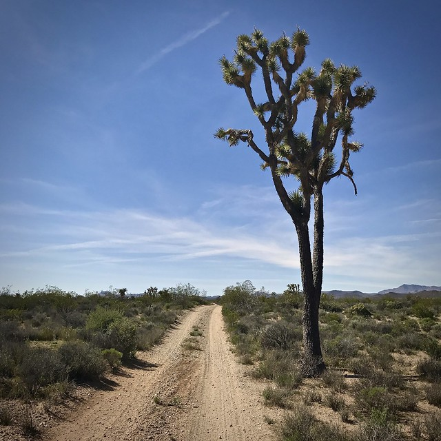 Tall joshua tree in Lanfair Valley on the Mojave Road