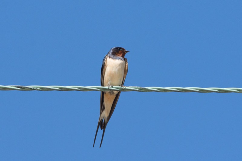 Swallow on a telegraph wire close to a hill farm in the Trough of Bowland