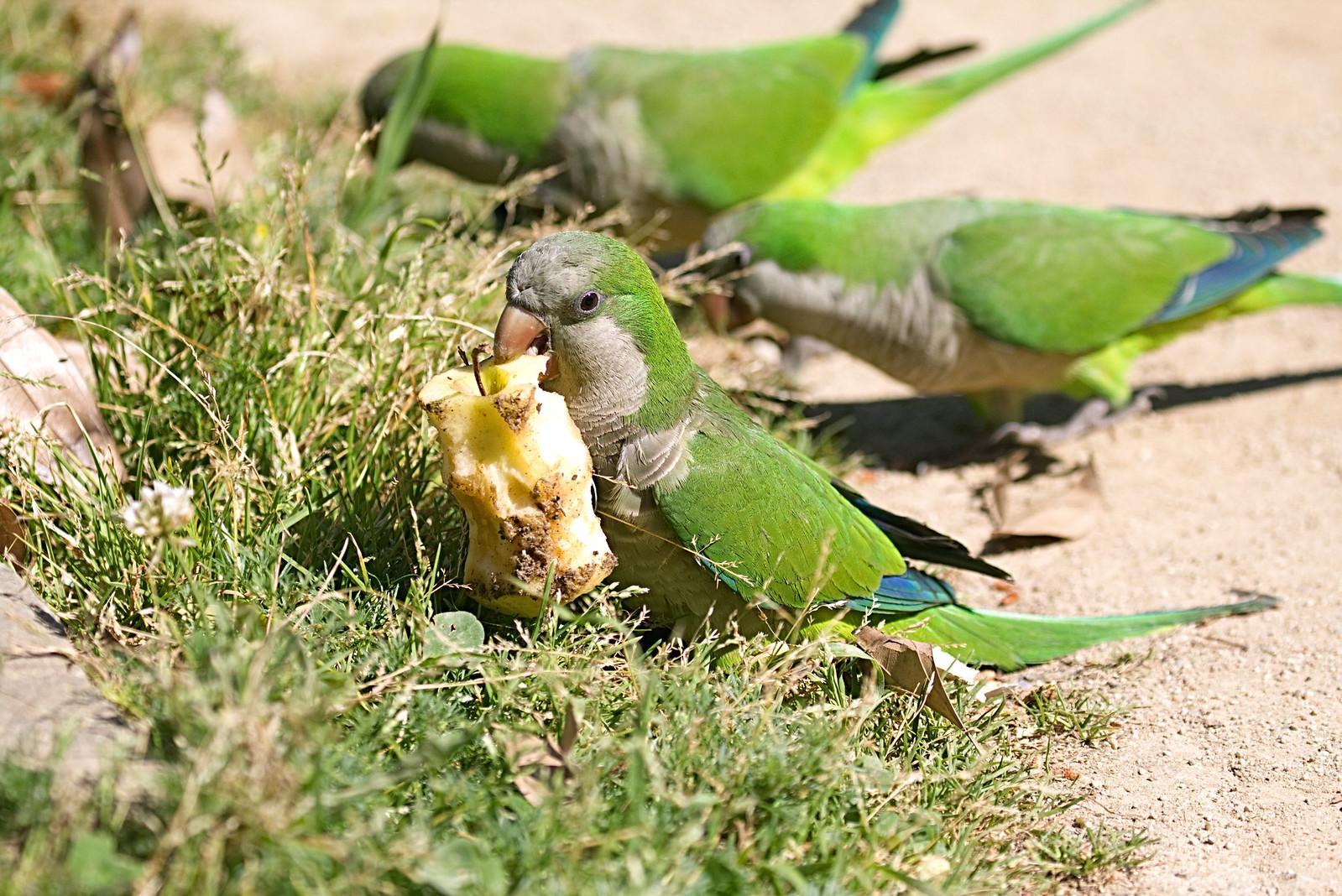 monk parakeet ( Barcelona )