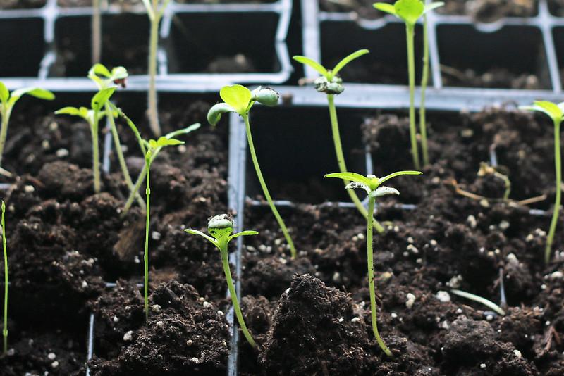 Zinnia Seedlings