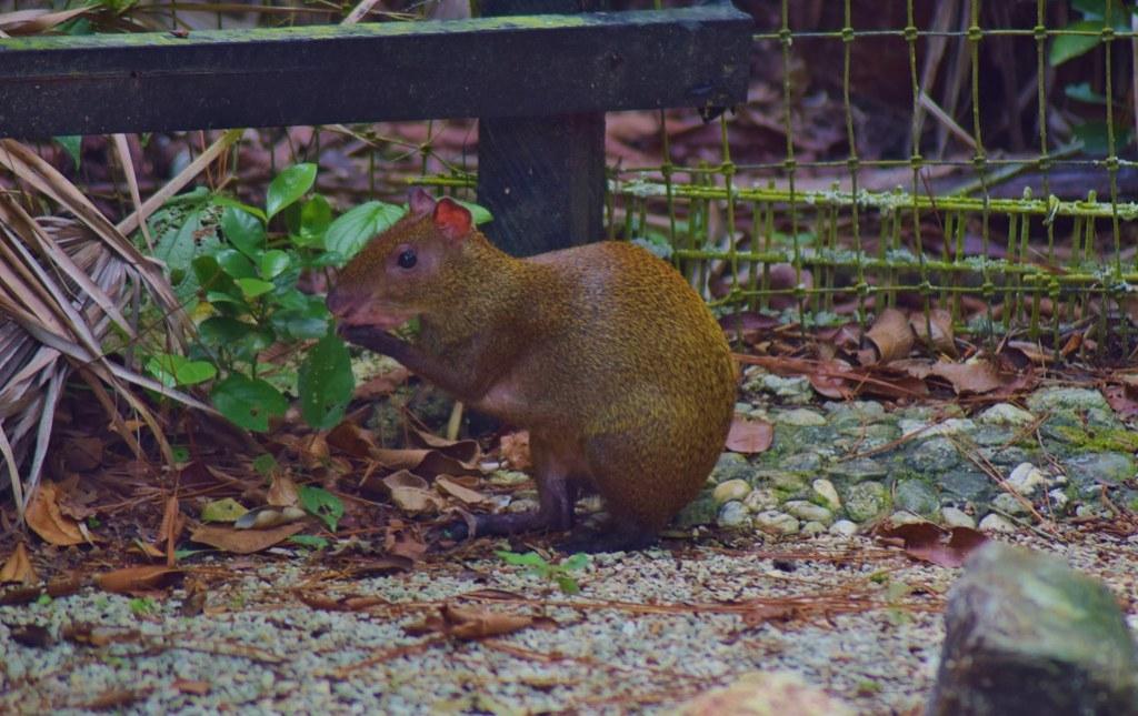 Belize Zoo - wild agouti