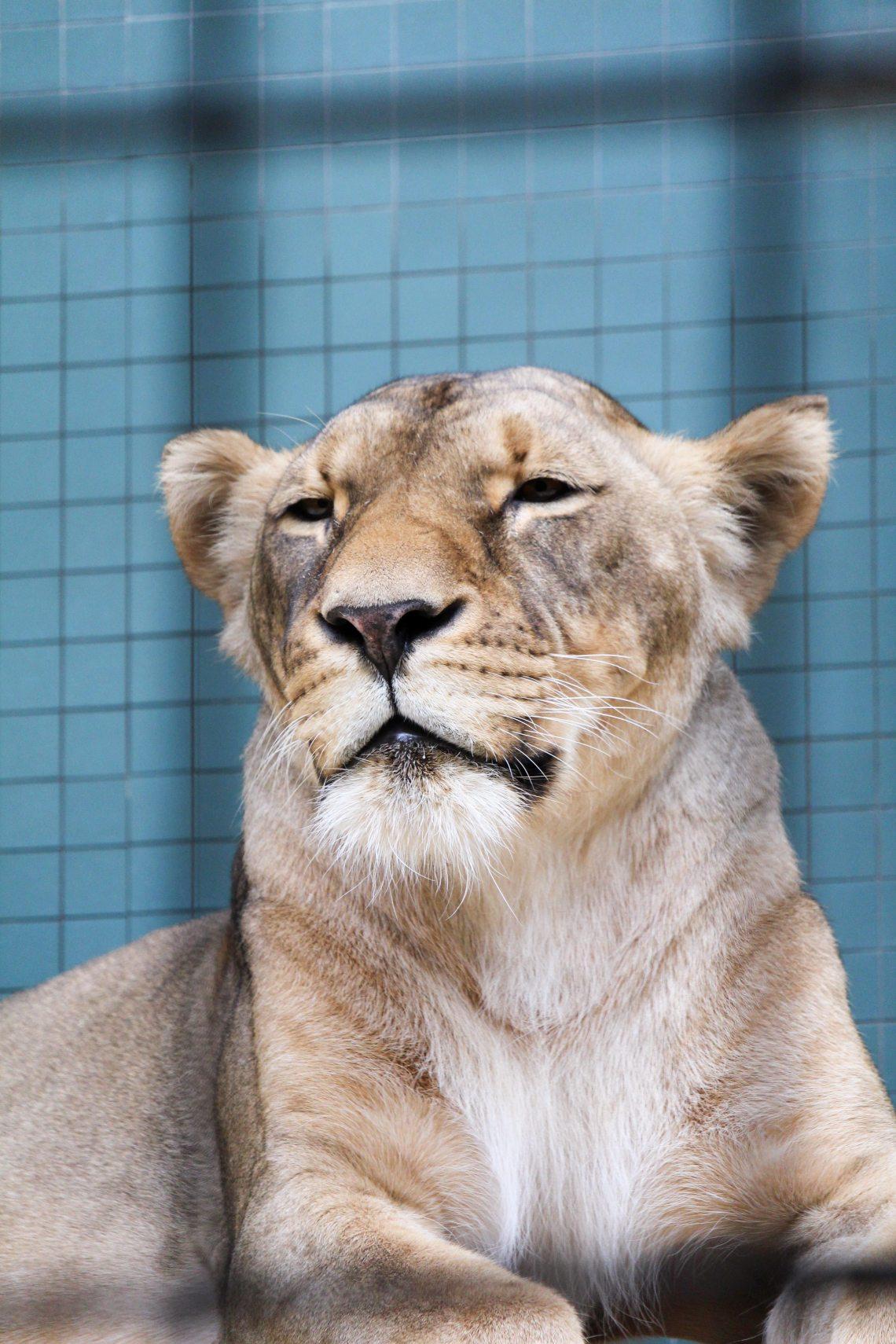 Zoo de Berlin Lionne