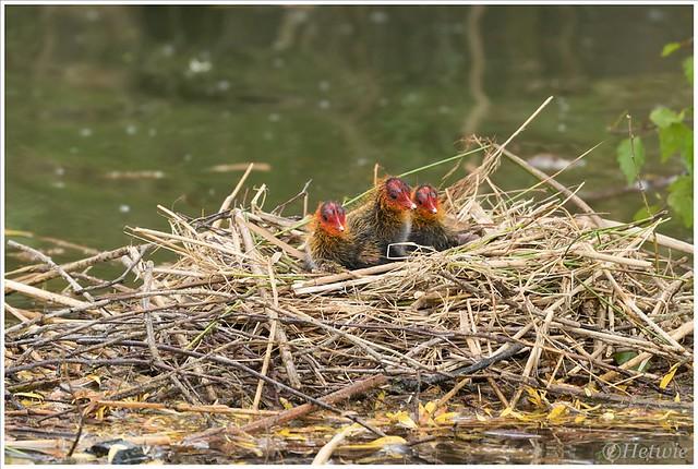 3 kuikens op het nest.
