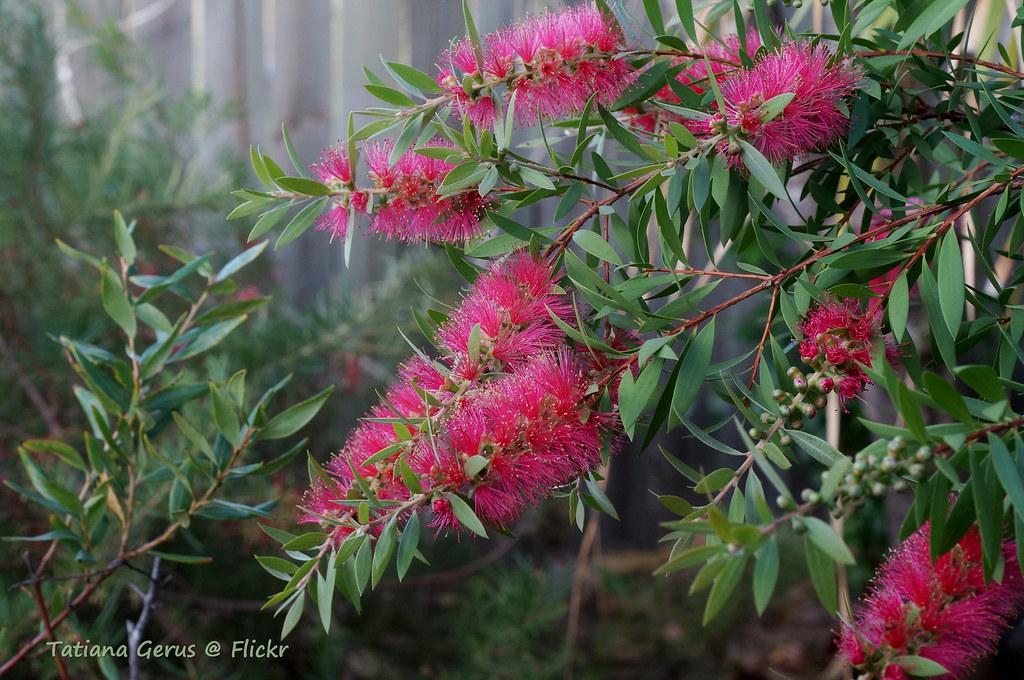 Bottlebrush Callistemon Pink Alma Lovely Bush In My