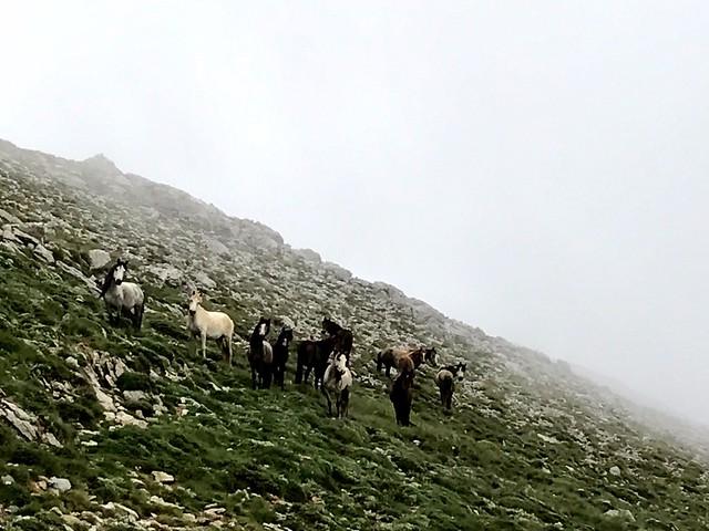wild horses on mount kyllini in greece