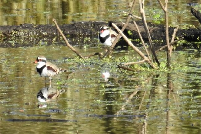 """Black-fronted Dotterels - """"Whats that long black thing sticking out of his face?"""""""