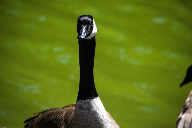 Goose In Golden Gate Park
