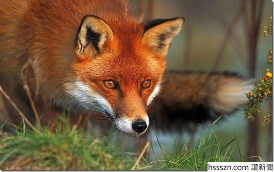Fox_thumb_561_352