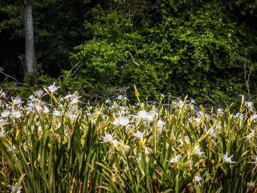 Landsford Canal Spider Lilies-002