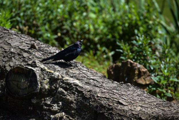Black Bird On A Log