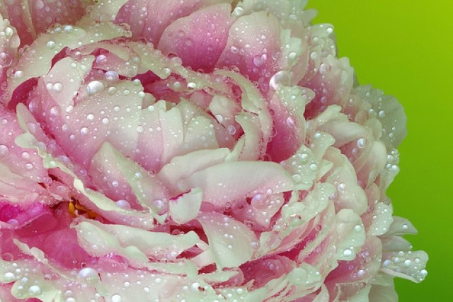 peonie with water drops