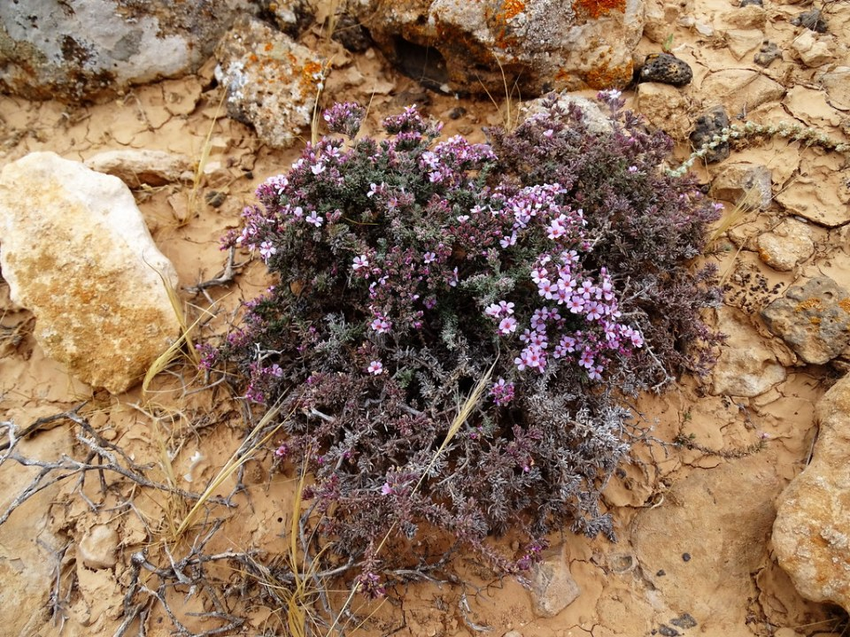 Flora en los Yacimientos Arqueológicos Poblados Aborígenes Isla de Fuerteventura 01