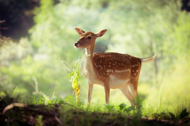Fallow deer (Dama Dama (Damhert))