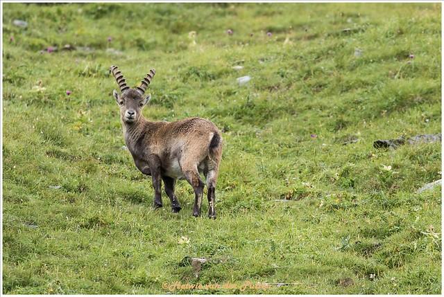 De Steenbokken laten ons vrij dicht bij komen.