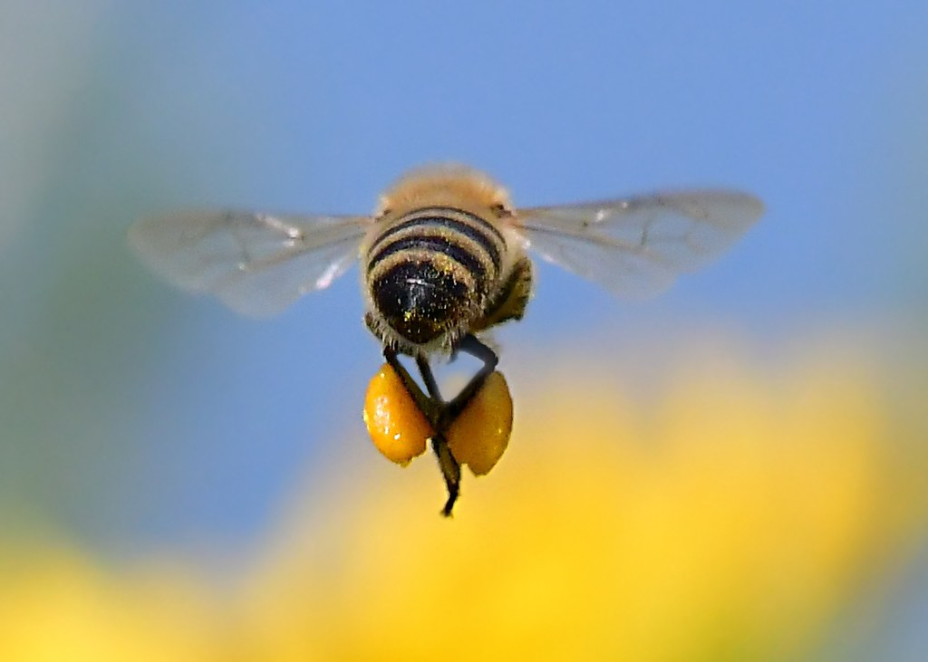 Bee Hind Honey Bee Flying Away With Loaded Pollen Sacs