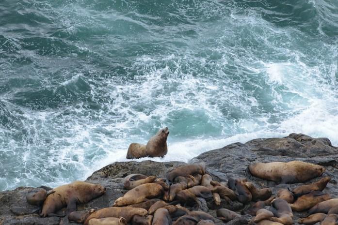 Leones marinos en el exterior de la Sea Lions Cave - Oregon - Highway 101 - Estados Unidos