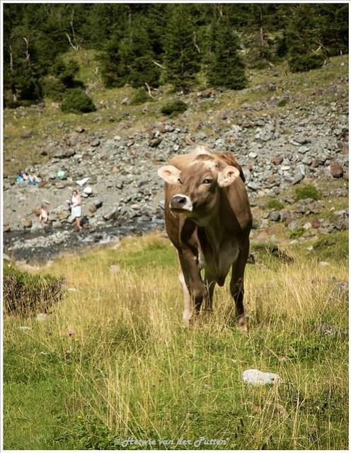 Even een eindje verder lopen als de koeien te nieuwsgierig worden.