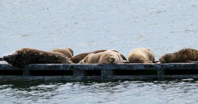 Focas durmiendo en el puerto de Crescent City, California - Océano Pacífico