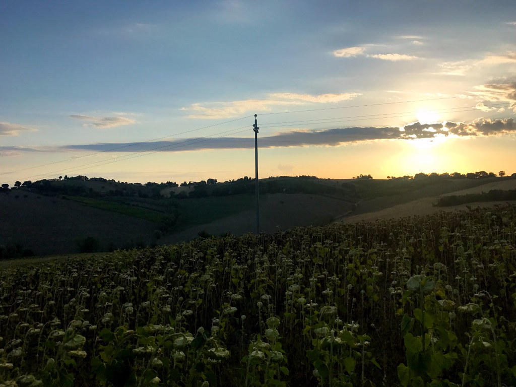 sunflower fields on hills in belvedere ostrense in italy by sunrise