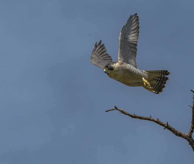 Fastest Animal On Earth Peregrine Falcon Falco Peregrinus By