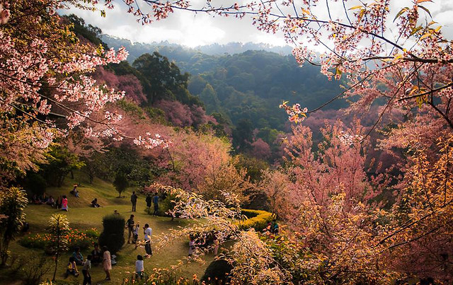 15 Facts About Chiang Mai - Cherry Blossom